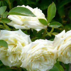 канадские неукрывные розы